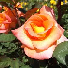 mardi gras roses mardi gras naturehills