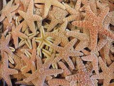 sugar starfish are great for nautical décor