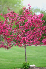 prairiefire tree is a disease resistant crabapple grows 15 to 20