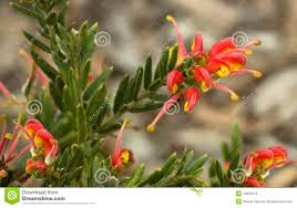 australia native plants bright australian native flowers royalty free stock photo image