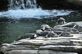 alligators right in the hotel lobby a review of the gaylord palms
