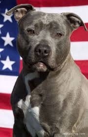 american pitbull terrier traits 30 best american staffordshire images on pinterest pit bulls