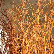 curly willow branches curly willow branches 4 5