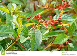 florida native plants photos firebush bud shrub in florida stock photo image 59314047