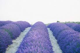 Lavender Decor Wedding Decor
