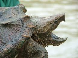alligator snapping turtle is surprising catch by angler grindtv com