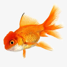 goldfish ornamental fish material goldfish fish ornamental fish