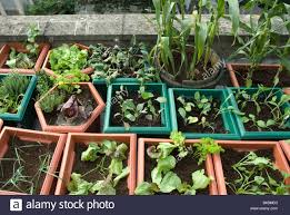 vegetables and salads growing in plastic pots on rooftop urban