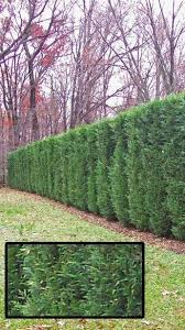 Create Privacy In Backyard Leyland Cypress Or Thuja Green Giant Evergreens To Create A