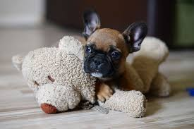 articles u2022 french bulldog puppy for sale french bulldog for sale