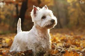 images of westie hair cuts how to keep your westies coat looking great pets4homes