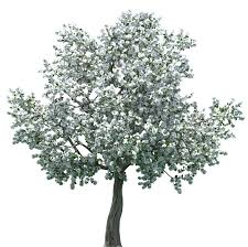 realistic blossom tree png clip best web clipart