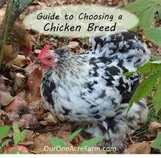 chicken breeds backyard chickens with chicken breeds ideal for