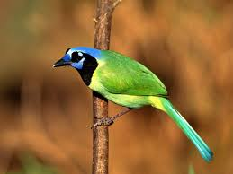 imagenes del animal urraca fonditos urraca verde animales pájaros mascotas aves