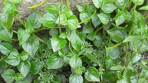 sinaw sinaw herbal plant philippines youtube