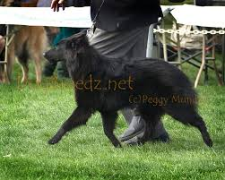 belgian sheepdog trials dogbreedz photo keywords belgian sheepdog
