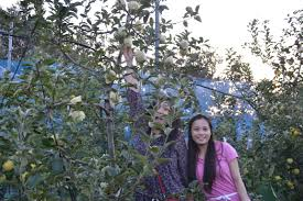 apple picking in shimada shi japan my earth