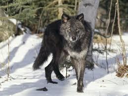 image black gray wolf montana jpg jam clans wiki fandom