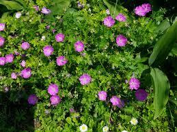 giardini rocciosi in ombra expoplant acquista geranium sanguineum max