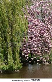 weeping willow tree or babylon weeping willow tree salix