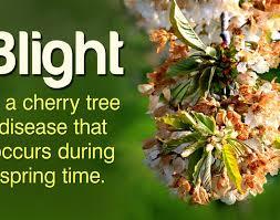 chanticleer pear tree problems best tree 2017