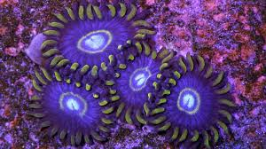 led lighting for zoanthids blue hornet zoanthids vivid aquariums