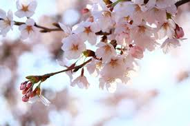 japan u0027s cherry blossom viewing guide tips and spots to see the