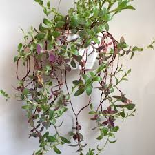 100 indoor vine plants passion flower indoors a perfect