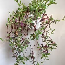 Indoor Vine Plants Light Green And Purple Fuzzy Leaves Some Sort Of Vine I U0027ve Been