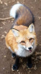 best 25 foxes ideas on pinterest cute fox fox and fox pictures