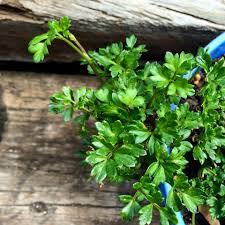 native edible plants australia native australian parsley slow food south australia