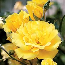Yellow Climbing Flowers - golden showers yellow rose climbing rose with fragrant blooms