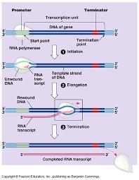 gene to protein