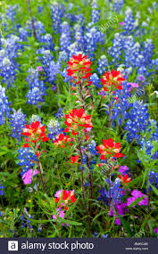 indian paintbrush and bluebonnet wildflowers in texas hill country