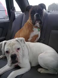 boxer dog white sumara and gypsy red and white female and white female