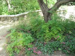 native plants in claremont mother nature u0027s backyard a water wise garden plant of the month