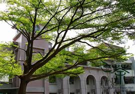 deciduous tree terminalia mantaly seeds 20pcs widely cultivated