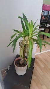 Yucca Wohnzimmer Palmlilie Lässt Blätter Hängen Und Verfärbt Sich Was Tun Seite