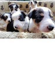 australian shepherd x kelpie collie x kelpie tri colour black u0026 tan bridport dorset
