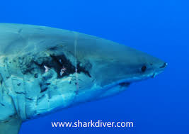 shark diver shark diving swimming with sharks how fast do