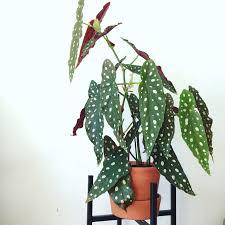 begonia maculata piante da interno pinterest plants house
