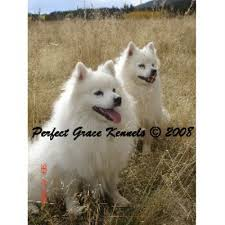 american eskimo dog rescue michigan search locally for american eskimo dog breeders nearest you