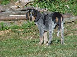 bluetick coonhound gascon the bluetick coonhound is the state dog of tennessee where it is