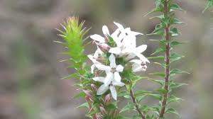 australian native wallum heath flower yengo national park nsw