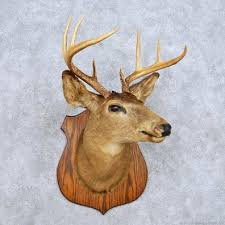 deer head whitetail deer shoulder mount for sale 14116 the taxidermy store