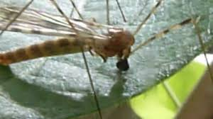 crane fly feeding on plant sap macro youtube