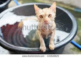 Cat In Bathtub Cat Bath Stock Images Royalty Free Images U0026 Vectors Shutterstock