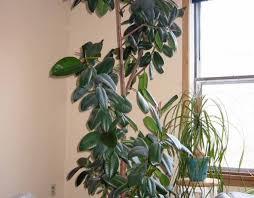 best indoor house plants popular plant shrubs liana flowering that can schefflera tall indoor