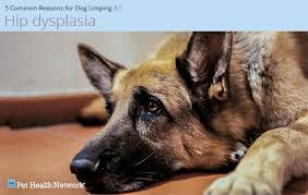 belgian shepherd hip dysplasia 5 common causes of limping in dogs