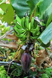 bananas on tree edible tropicals how to propagate bananas
